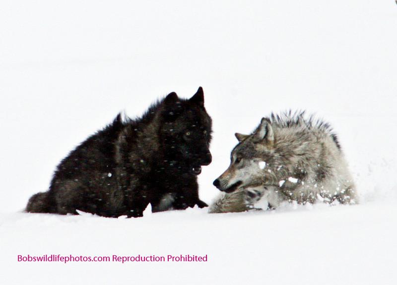 Wolf Yellowstone Druids_0779c