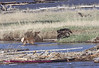 wolves with elk in water 1