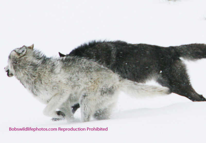 Two wolves playing in the snow