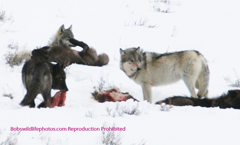 5 wolves and the remains of an elk