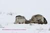 4 Druids on Elk kill 3-2008