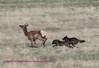 wolves chasing elk