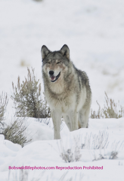 This shot of a grey female was taken near Junction Butte in little America.  This wolf was on her own calling for someone. We were told that she was currently trying to get back in with some of the Agates where her Mom is the Alpha Female. Later in the trip we saw her with her mother and three others where she was acting very submissive, but it appears that she may have been allowed to rejoin. This will be critical for the survival of any pups she might have this spring. While normally wolves are not named, Sherry has decided that this wolf is Aggie.
