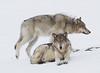 Two Lamar Canyon Wolves