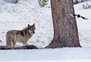 Lamar Canyon Wolf watches a magpie.