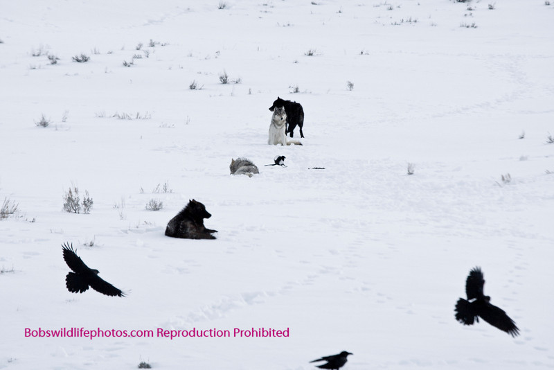 This photo is of 4 wolves (Druids) slightly upslope from an elk kill.