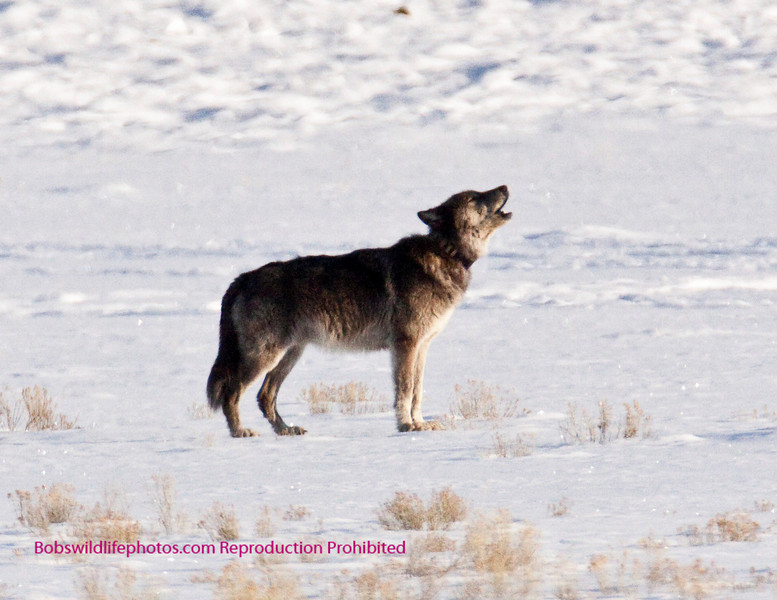 Thsi is a shot of the silver packs alpha male howling.