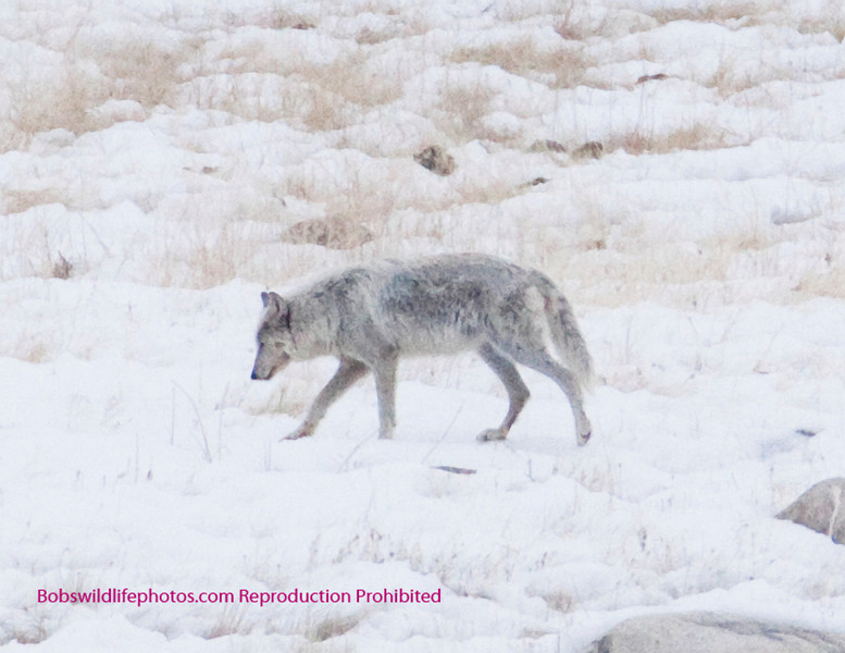 This wolf is the alpha female of the Silver Pack. The pack may have gotten it's name from her.