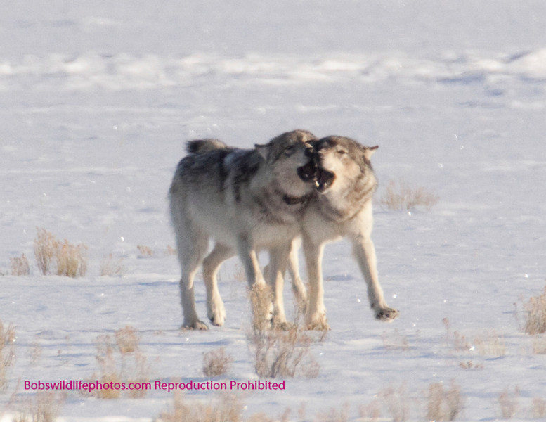 The collared wolf is the 90 pound cub, of the silver pack. She was collered and weighed 3 weeks previous. A large wolf will grow to 140 lbs. Some thing Big Brown from the Blacktail pack may weigh 170 lbs,