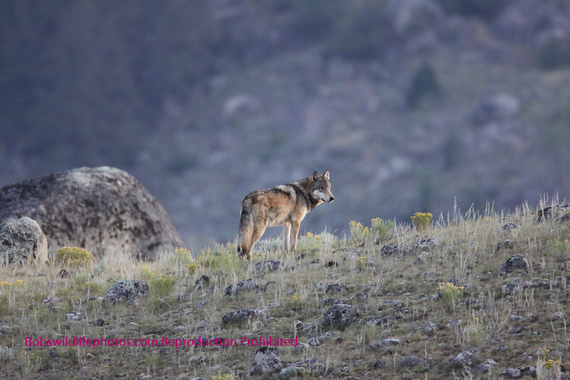 This wolf is one of the Agate pack. The photo was taken in Little America YNP at about 6 in the morning. There were 4 wolves chasing a coyotte. They didn't get him.