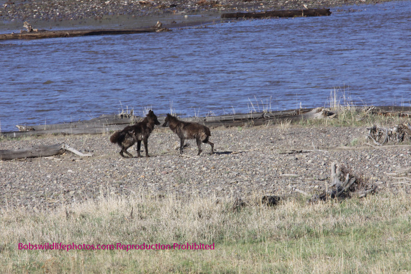 A second wolf joins the first and they go through a greeting ritual prior to starting a hunt.