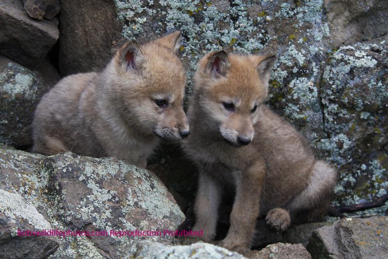 Two young wolf pups.