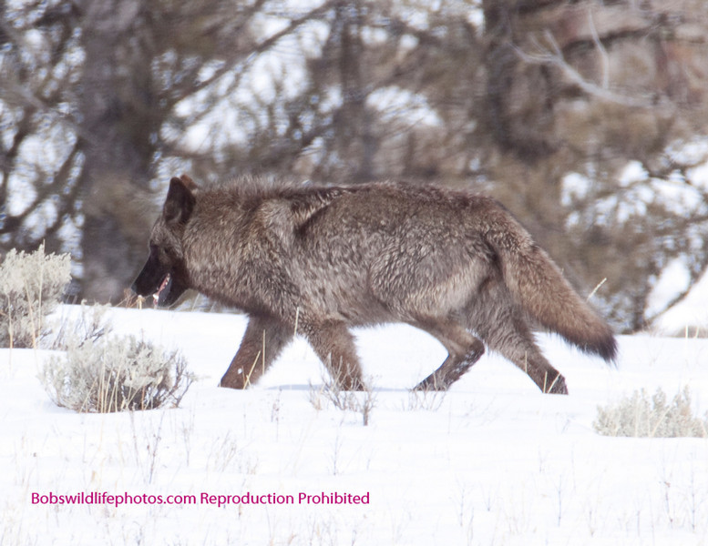This Blacktail cub photo was taken about 200 yards south of floating island in YNP. The wolf was accompanied by a grey.