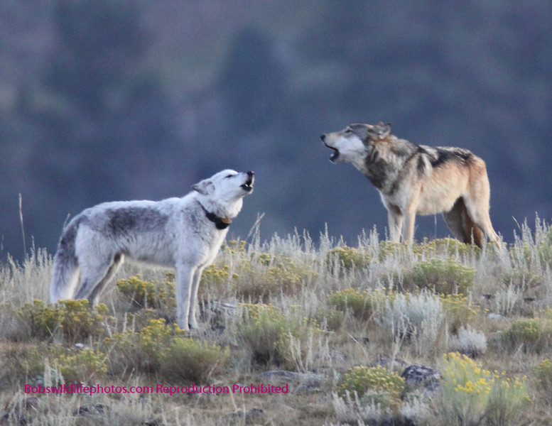 Two of the Agate wolves calling