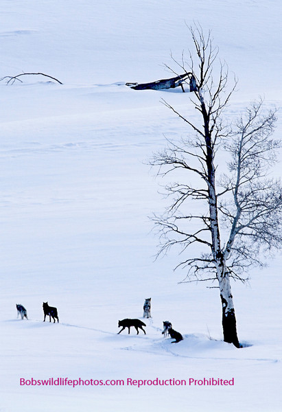 Six wolves setting out on a cold walk.