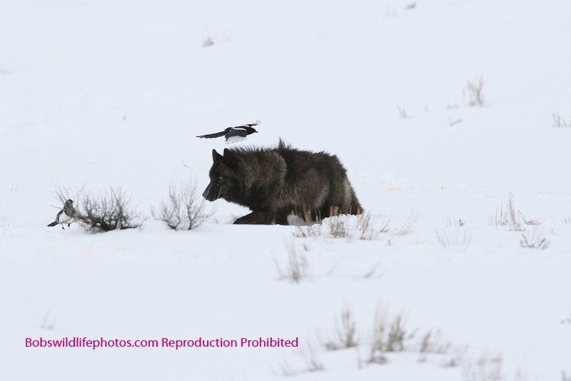 This large black member of the Druids appears intimidated by the magpie?