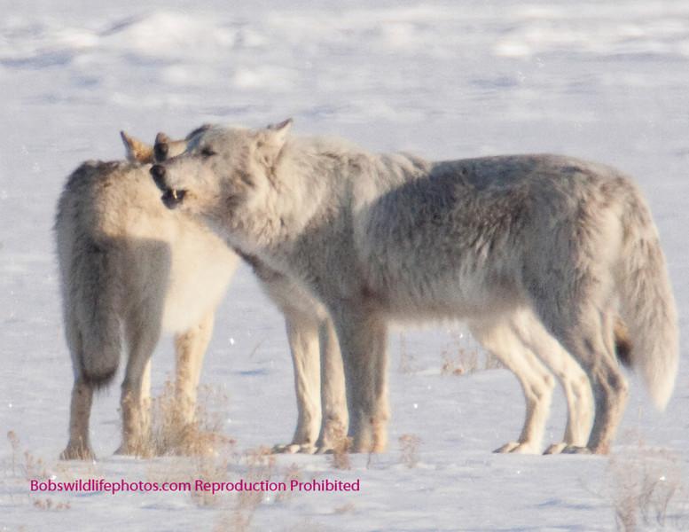 Closer look at 3 howling.