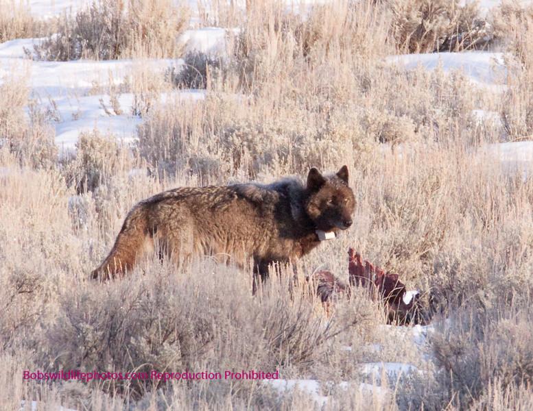 This wolf is a blacktail on the kill near Wraith. Photo quality is fair.