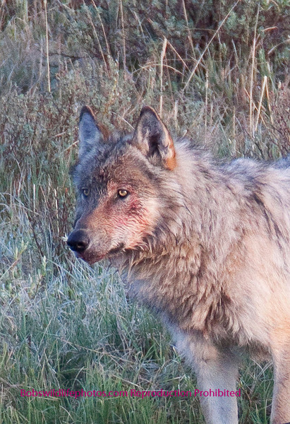 """This wolf ws one of three we found pulling a young bison out of the black tail lakes. I don't believe they actually made the kill, but  in this case were acting as scavangers. After the wolves were done coyote and birds from eagles to crows had a turn. These wolves are part of the Blacktail pack let by wolf 302 """"Casanova"""" he left the Druids last fall. So he started as a slough, moved to Druid and now is starting  his own pack. Unfortunately we have no photos of 302."""