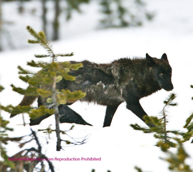 Member of the Molly Pack Yellowstone National Park.