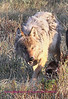 This is the same wolf as shown in the previous photo looks different dosen't she. This one is a female.