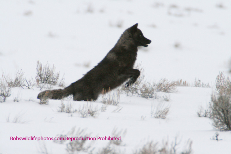 This black was chasing a coyote and the pose was, we thought, unique. By the way, the coyote got away.