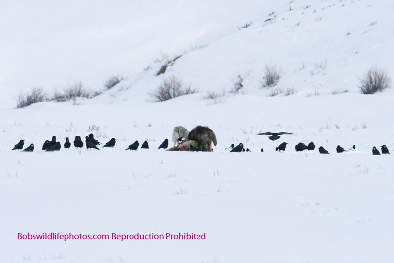 This photo shows two wolves on an elk with a number of birds waiting their turn. Lamar valley 3-2008