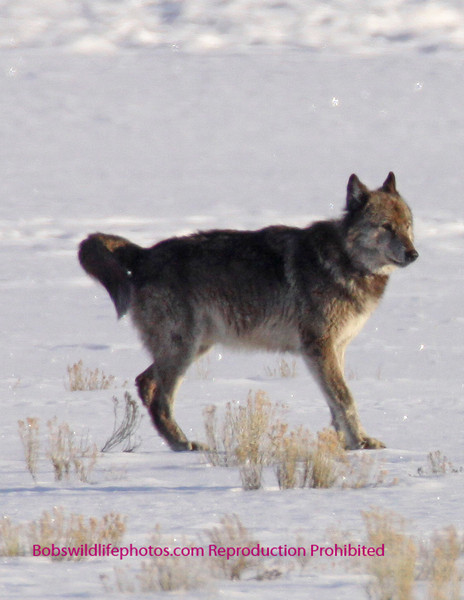 A fair shot of the silver pack alpha male.