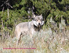 Canyon pack wolf near Lehardy