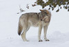 Lamar Canyon Wolf from the hitching post. Yellowstone National Park.