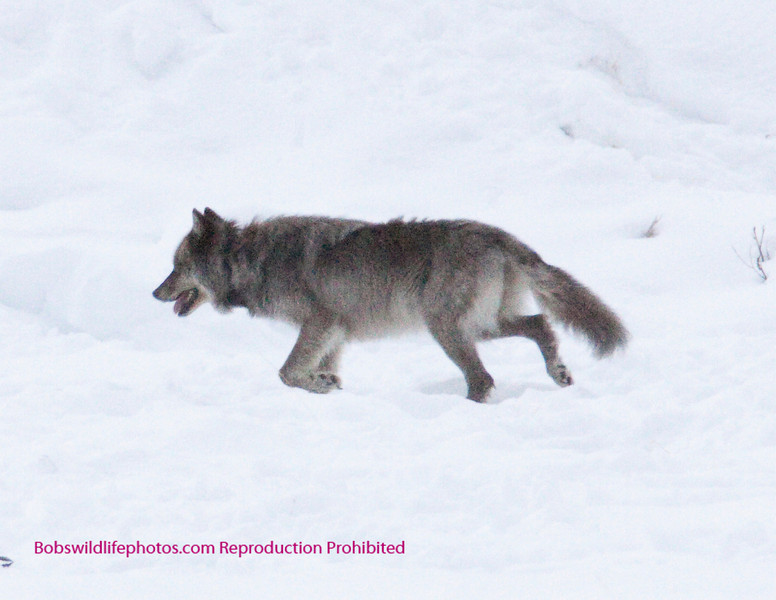 This wolf is a hoodo from wyoming, it was taken in the Lamar valley Yellowstone. The wolf is some distance away, so the photo is not appropreate for printing.