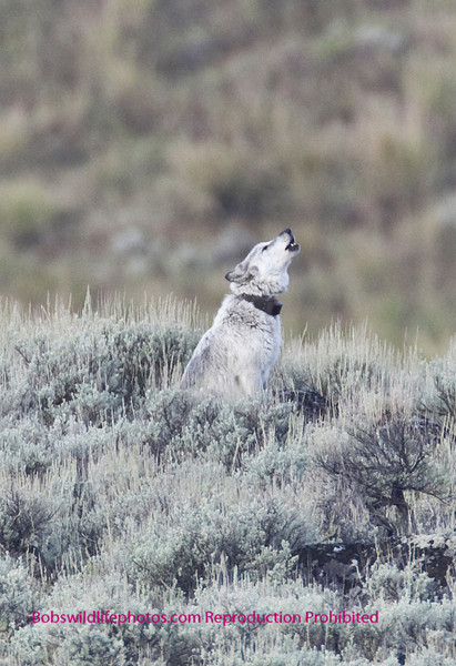 Agate pack female calling the rest of the pack. Little America YNP