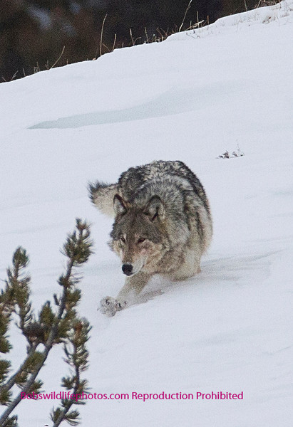 Even Wolves have a hard time in deep snow.