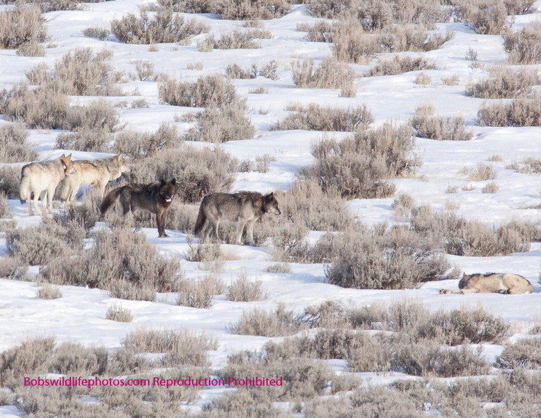 Five of the Blacktail pack on the elk kill. The pack totals nine animals.