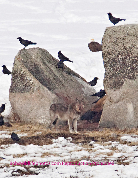 This photo shows one of the Silver pack that has just fed on the bison that they brought down earlier in the day. the Bison can be seen in the cleft of the rock. For three days wolves, coyotes, eagles and various other birds feasted on this unlucky animal. Note the bald eagle in the background. This kill was quite a ways out.