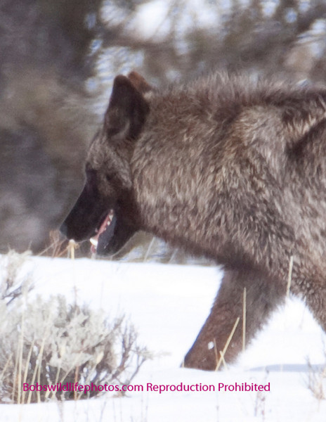 Close up of the same wolf from the previous photo