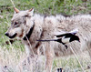 This is a member of the Silver Pack on a bision kill in the Lamar Valley of Yellowstone. The bird is a Magpi.