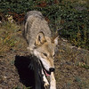 This is a very thin wolf.  Without food, he may not last another year.