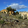Mom and her two pups are out looking for food.  She is teaching them to hunt.  Note the incredible terrain they live in.