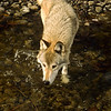 This wolf walks slowly, with care to obtain a drink, then quickly returns to the forest.