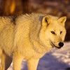 The evening sun sets this white wolf ablaze.  It is cold but no matter, what a fine image.