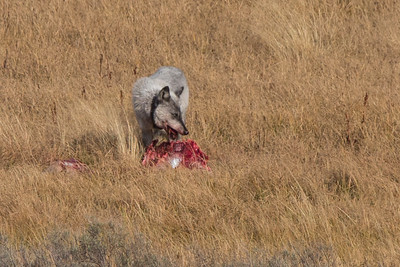Wapiti Lake Wolves' Elk Kill (Sept 14, 2015)