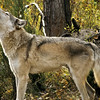 The howl has a variety of tones and pitch.  Wolves howl during the breeding season, to communicate with the pack and often before and after the evening hunt.