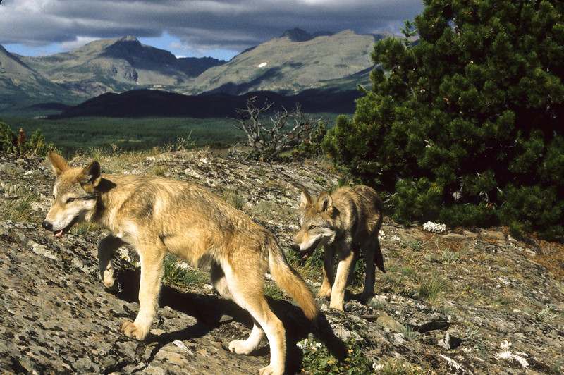 Two wolf pups looking for something to eat in their vast, magnificent habitat.
