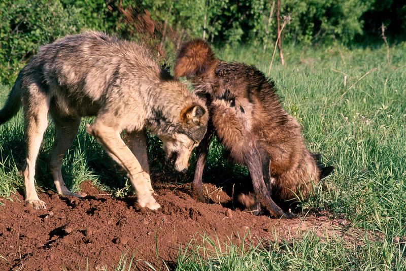 Stop digging, you're getting dirt in my eyes.  Mother wolf is digging with determination, her pups will be born soon and her den must be dug and prepared.  Some wolves just seem to get in the way.