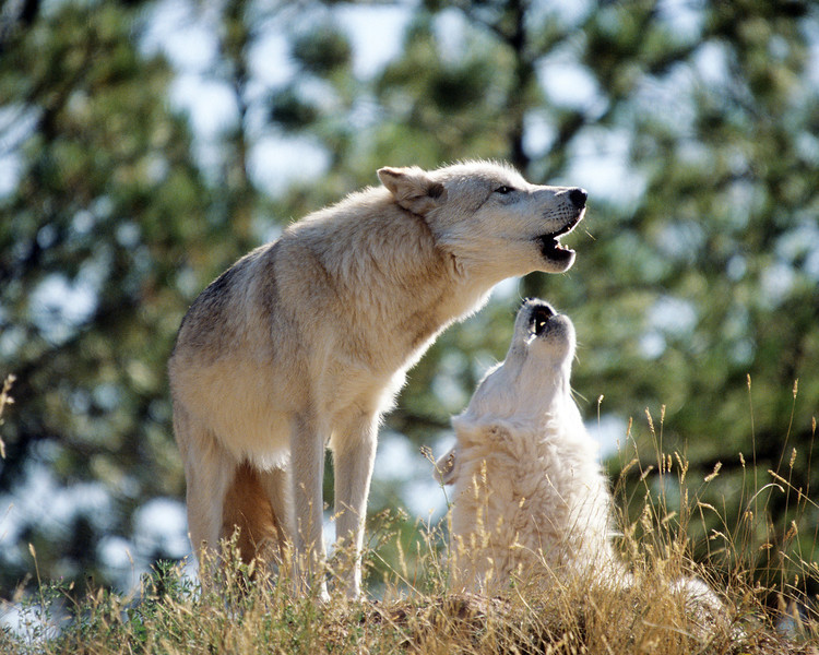 A little harmony among wolves is a good thng.  These beauties have perfect pitch and their song signals the beginning of the nights hunt.