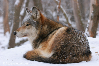 Wolf in the Weather