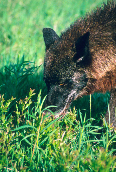 A brilliant red wolf is found in an open field where he has found something good to eat.  Note the shining eyes.