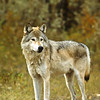 With winter coming on the wolves develop a thicker coat of fur and as food may be scarce, they must hunt a wider range.