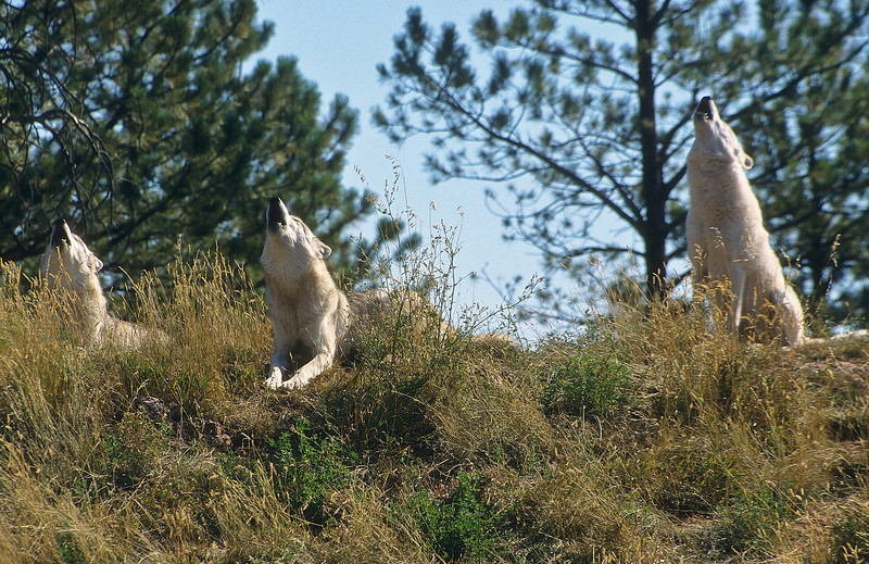 This is a rare image.  Three howling wolves, all singing together on their hilltop home.